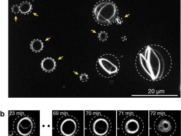 図3:収縮環様のリング構造の自己組織化と収縮。白い点線は液滴と油の境界を表す。(a) 液滴内で自己組織化した構造の蛍光顕微鏡写真。タンパク質を液滴に封入してから1時間後の様子を示す。小さな液滴内(黄色の矢印で示した)では収縮環様のリングが液滴の赤道上に形成されることがわかった。 (b) 液滴内で自己組織化したリングが収縮する様子。写真に記載した時間はタンパク質を液滴に封入してからの経過時間。