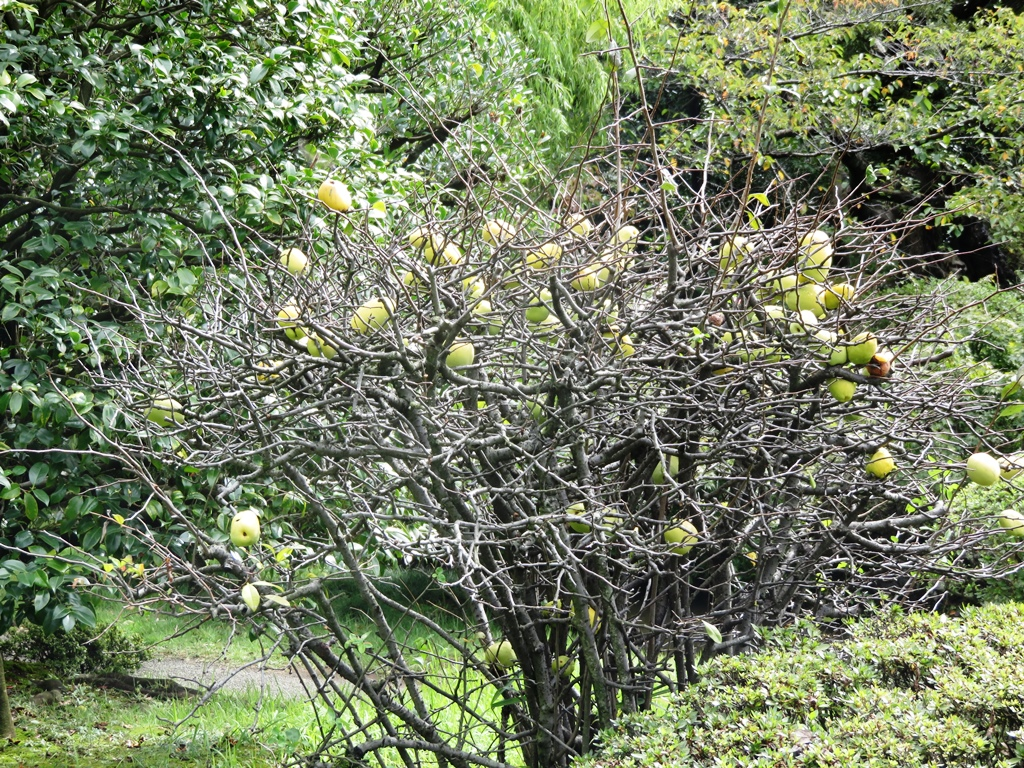Okuma garden in autumn waseda university japanese quince biocorpaavc Image collections