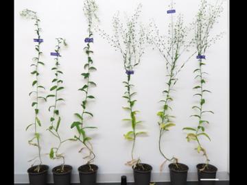 図4 高速型ミオシンXIによるカメリナの成長促進と種子数の増加