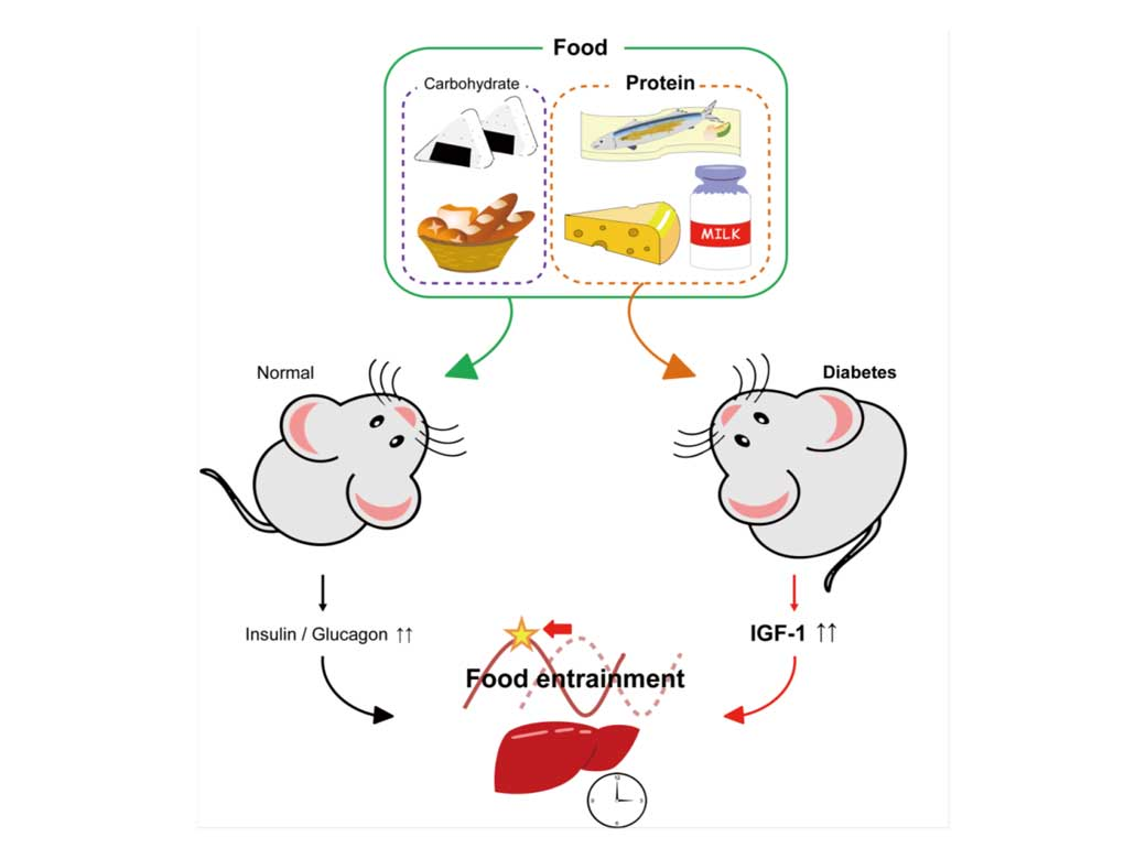 Protein and amino acid-only diet synchronizes liver circadian clock